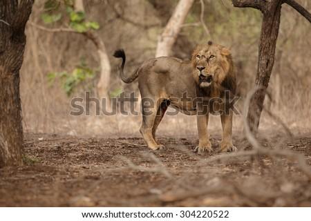 Asiatic lion/lion pride/Gir  - stock photo