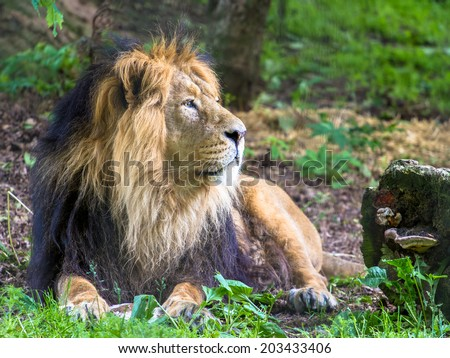 Asiatic lion male looking into the distance - stock photo