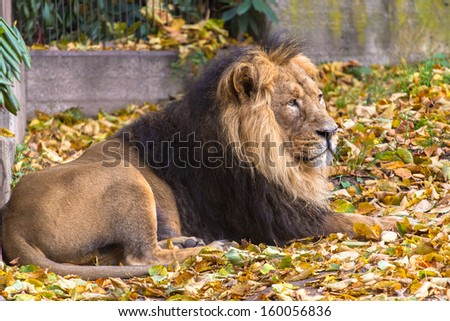 Asiatic lion male lying on the ground - stock photo