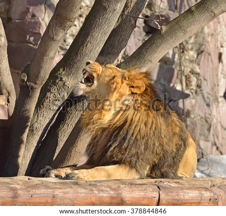 Asiatic lion (Panthera leo persica), also known as Indian lion or Persian lion - stock photo