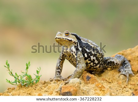 Asiatic toad sitting in front of green grass with clean green-yellow background, Czech republic