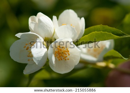 asmine flower growing on the bush in garden with sun rays and bokeh - stock photo