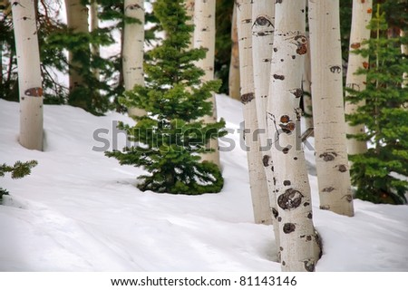 Aspen and Pine Trees Surrounded by Snow - stock photo