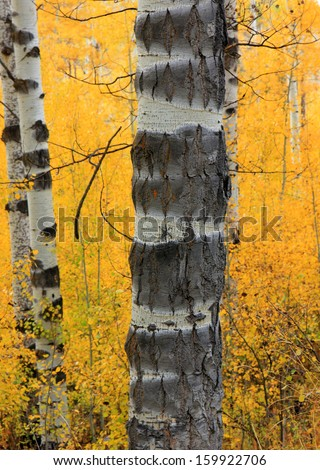 Aspen bark with yellow leaves in the background, Utah, USA. - stock photo