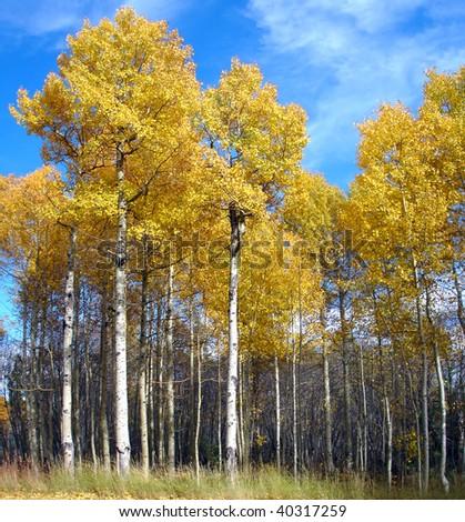 Aspen grove in autumn - stock photo