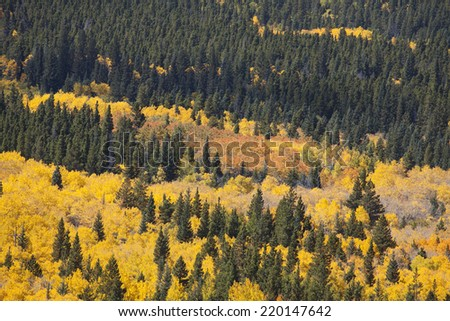 Aspen Grove in full Autumn Colors with Pine Trees - stock photo