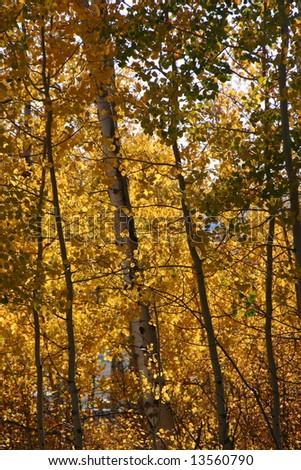 aspen leaves in autumn - stock photo