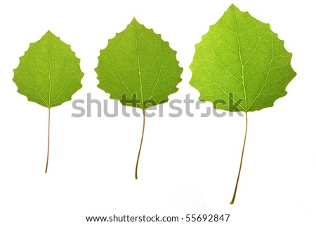 aspen leaves isolated on a white