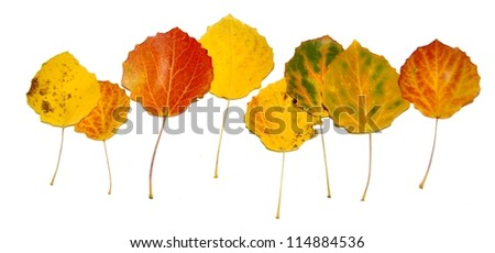 Aspen leaves with bright colors - stock photo