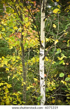 Aspen tree in Nova Scotia, Canada - stock photo