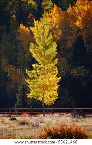 Aspen Tree in the Afternoon Light - stock photo