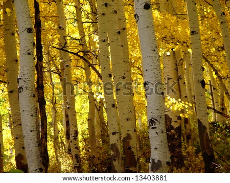 Aspen tree trunks in golden autumn color - stock photo