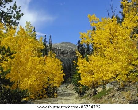 aspen  trees in fall,  colorado - stock photo