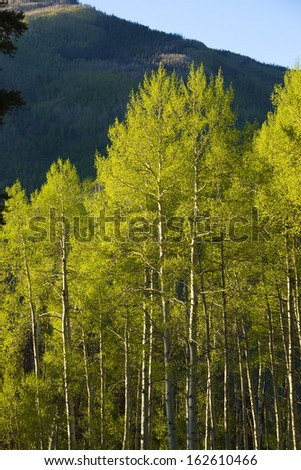 Aspen trees in summer in the Rocky Mountains - stock photo