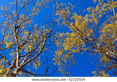 Aspen Trees in the Fall against a blue background - stock photo