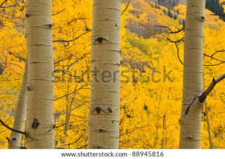 Aspen Trees near Aspen Colorado 100 - stock photo