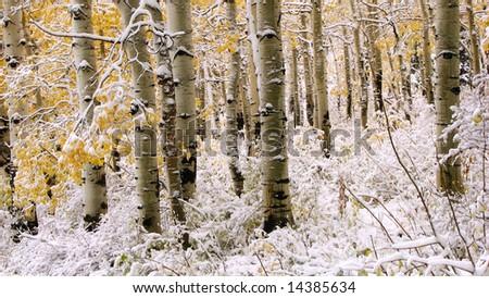 Aspen trunks in early winter snow - stock photo