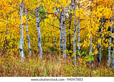 Aspen trunks surrounded by yellow leaves - stock photo