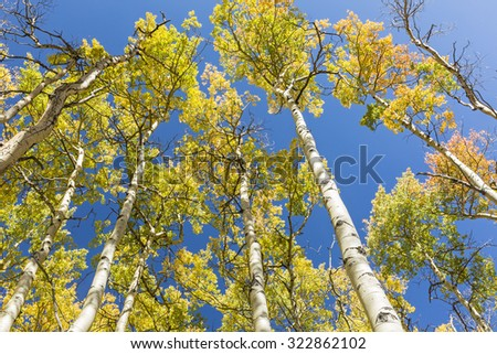 Aspen trunks with golden quaking leaves reach for a blue sky on the Colorado Trail at Kenosha Pass in Colorado. - stock photo