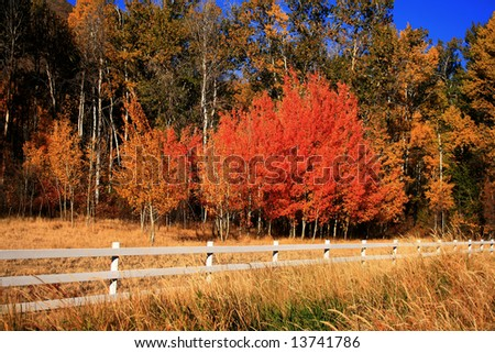 Aspens in full color with fence in foreground, Hailey Idaho - stock photo