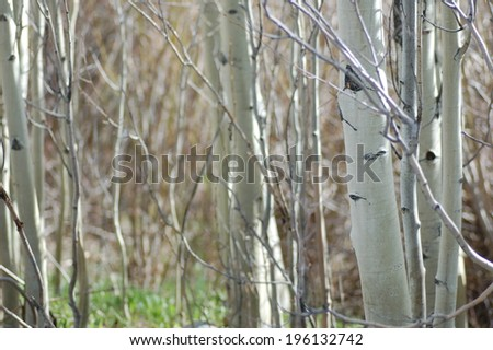 Aspens in State Forest State Park, Colorado - stock photo