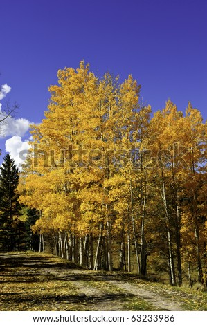 Aspens turning golden colors next to a dirt road - stock photo