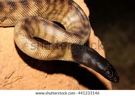 Aspidites melanocephalus, commonly known as the black-headed python, is a species of snake in the family Pythonidae. The species is native to Australia. No subspecies are currently recognized. - stock photo