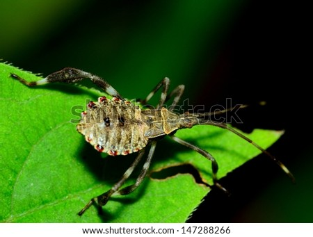 Assassin Bug perched on a green plant leaf. - stock photo