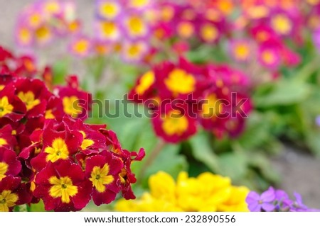Assorted blooming spring primulas in colorful flower bed - stock photo