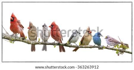 Assorted Songbird Flock Isolated on White Background - stock photo