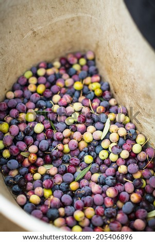 Assorted vibrant colored olives resting in a waist worn plastic container after being harvested in Paso Robles - stock photo