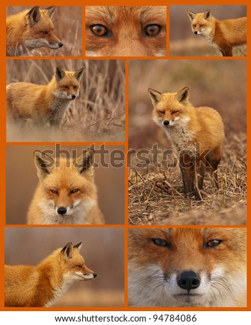 Assortment of eight images of a cunning Red Fox. - stock photo