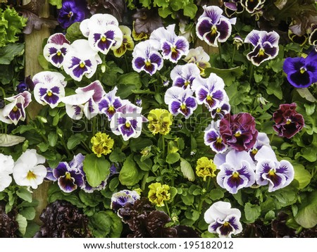 Assortment of pansies (binomial name: Viola x wittrockiana 'Bolero Mix'), with markings like faces, in a spring garden - stock photo