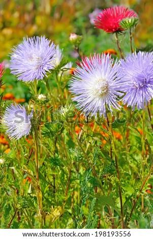 Aster flower in the garden - stock photo