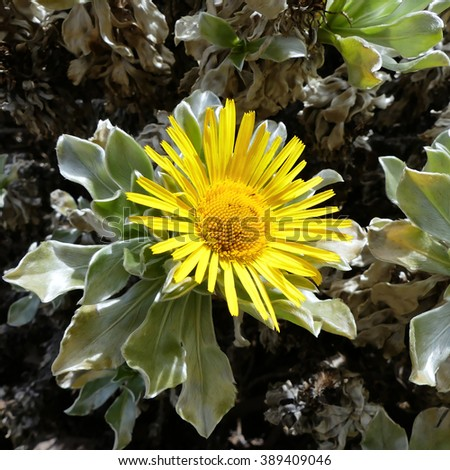 asteriscus sericeus Bubonium intermedium - stock photo