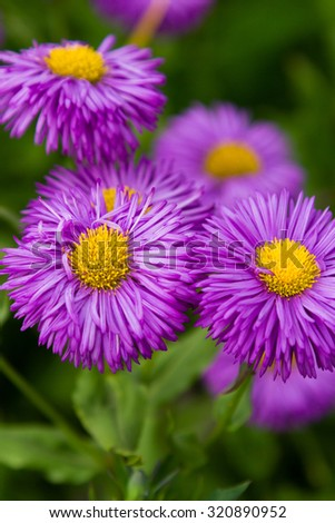 Asters in a botanical garden. View from the top. - stock photo
