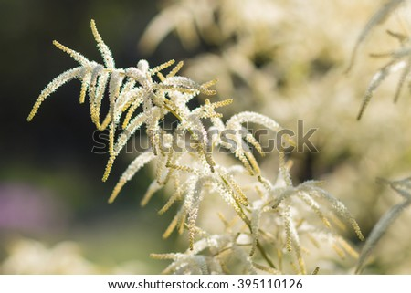 Astilbe blooming in the garden in summer - stock photo