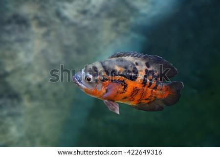 Astronotus is a large percoid fish aquarium - stock photo