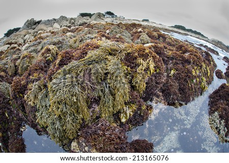 At low tide, kelp and algae are left high and dry around tide pools in Monterey Bay Marine Sanctuary. Tide pools support a variety of intertidal marine life which are adapted to the tidal exchange. - stock photo