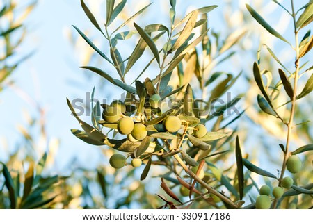 At Mediterranean & Aegean; olive is gold. It's a CULTURE. A culture only who lives it, will fully understand the beauty and importance.