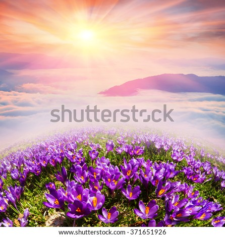At sunrise, after a warm rain forest shrouded in mist Ukrainian spring with sunshine rays. Sea fog in the pink light is very beautiful and fairy primroses after the snow melts very beautiful