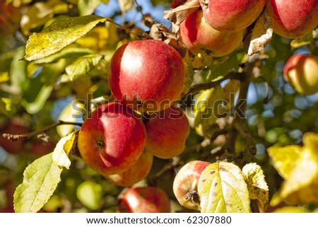 At the autumn tree, hang ripe and juicy apples. Photography done autumn morning. / Apples on the tree. - stock photo