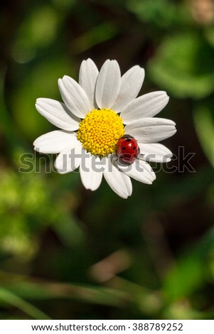 At the center up white daisy flower with a ladybug on it in the garden, down empty space on the background of blurred grass. Ladybird on daisy. Daylight. Vertical. Close. Top view. - stock photo
