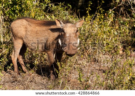 At You - Phacochoerus africanus - The common warthog is a wild member of the pig family found in grassland, savanna, and woodland in sub-Saharan Africa. - stock photo
