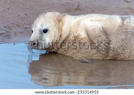 Atlantic Grey Seal Pup in Shallow Water/Atlantic Grey Seal Pup/Atlantic Grey Seal Pup (halichoerus grypus) - stock photo