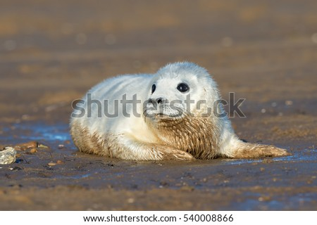 Atlantic Grey Seal Pup on sandy beach/Seal Pup/Atlantic Grey Seal Pup (Halichoerus Grypus)