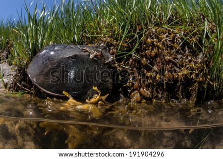 Atlantic Horseshoe crabs (Limulus polyphemus) are common in shallow water along the east coast of the United States. This species is closely related to spiders, ticks, and scorpions. - stock photo