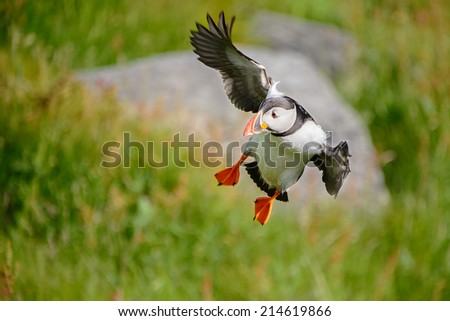 Atlantic puffin, fratercula arctica, a sea bird landing with wings outstretched  from a foraging flight from the sea towards its burrow.  - stock photo