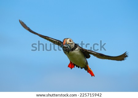 Atlantic Puffin (Fratercula arctica) gliding back from a fishing sortie with a catch of sandeels in its colorful beak. Shot against a blue sky. Horizontal format with copy space.  - stock photo