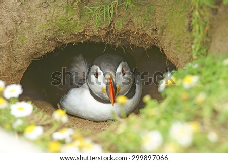 Atlantic Puffin, Fratercula arctica, just about to emerge from its nesting burrow, with Sea Mayweed in the foreground, Skomer Island, West Wales, Pembrokeshire, United Kingdom - stock photo